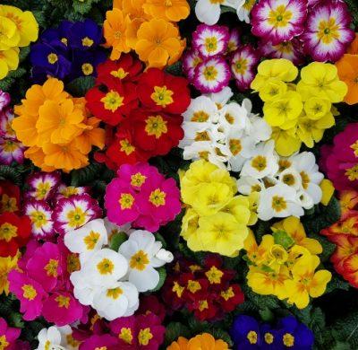 Aanbieding van de week: Primula's 3 voor €1.00