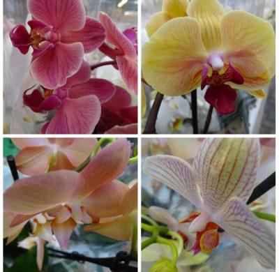 Aanbieding van de week: Orchideeën (div. Kleuren) 2 voor €10.00
